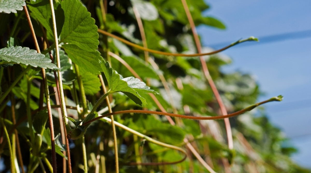 Strawberries Are Also Stolon Plants