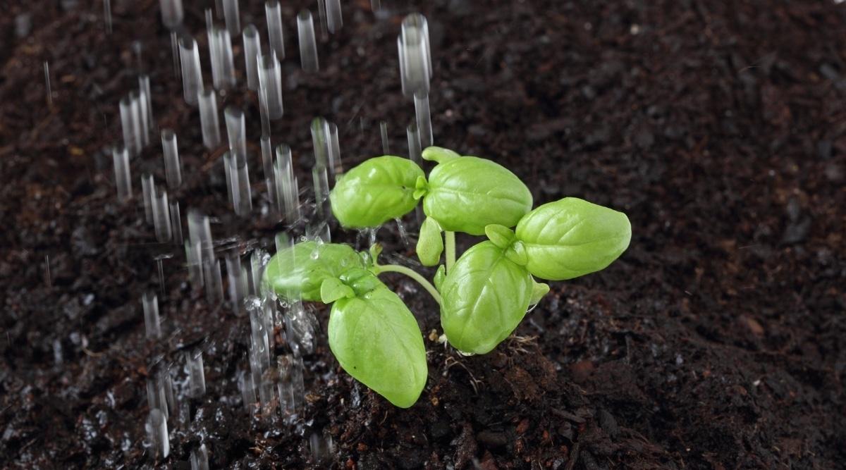 Sweet Basil in Soil Being Watered