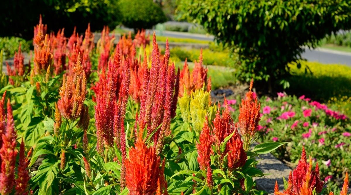 Tall Celosia Flowers in a Garden