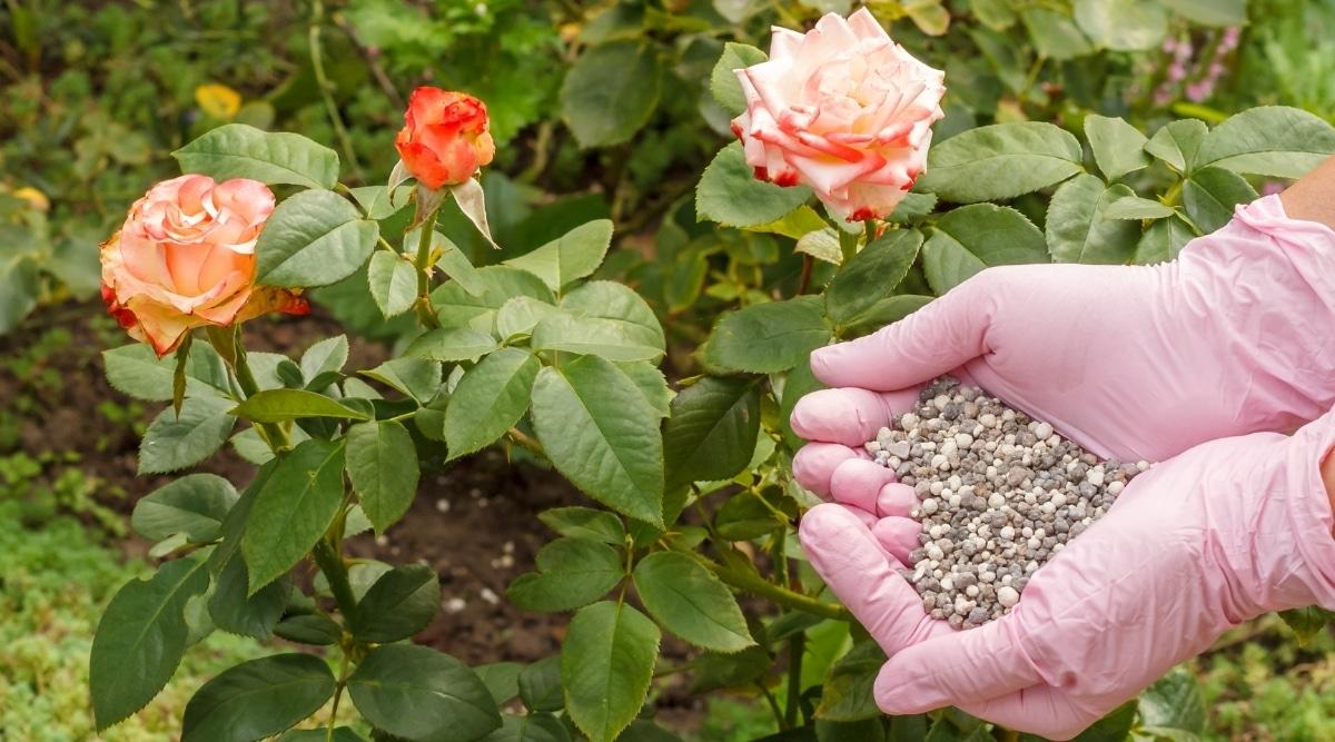 Woman Adding Fertilizer to Rose Bushes