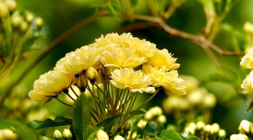 Yellow Lady Banks Wild Rose