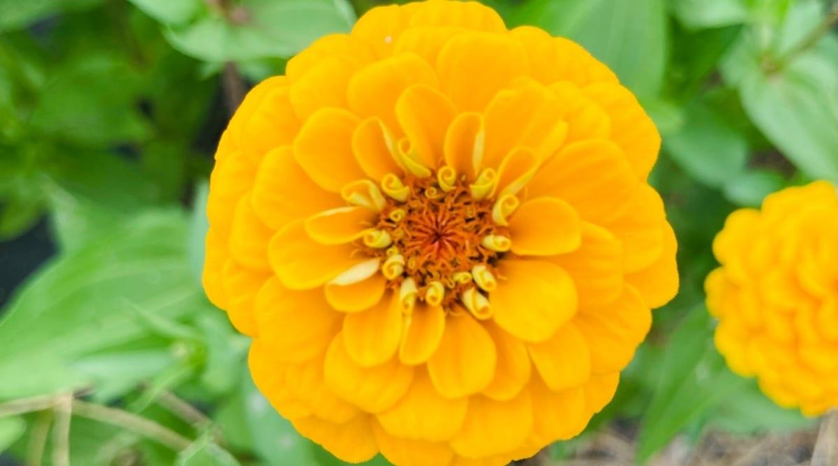 Yellow Oklahoma Series Zinnia Flower