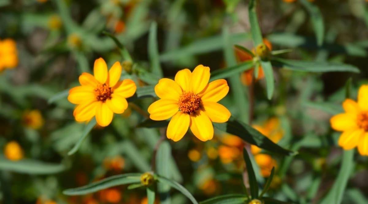 Zinnia angustifolia