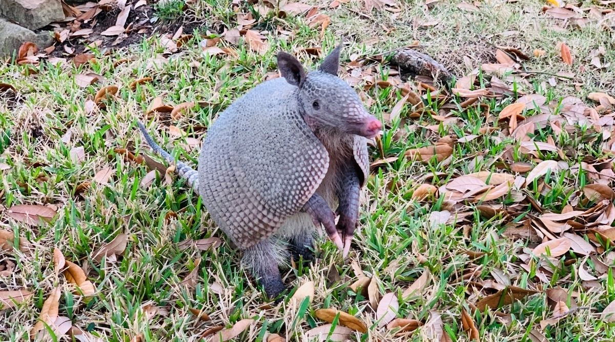 Armadillo Posing for Picture