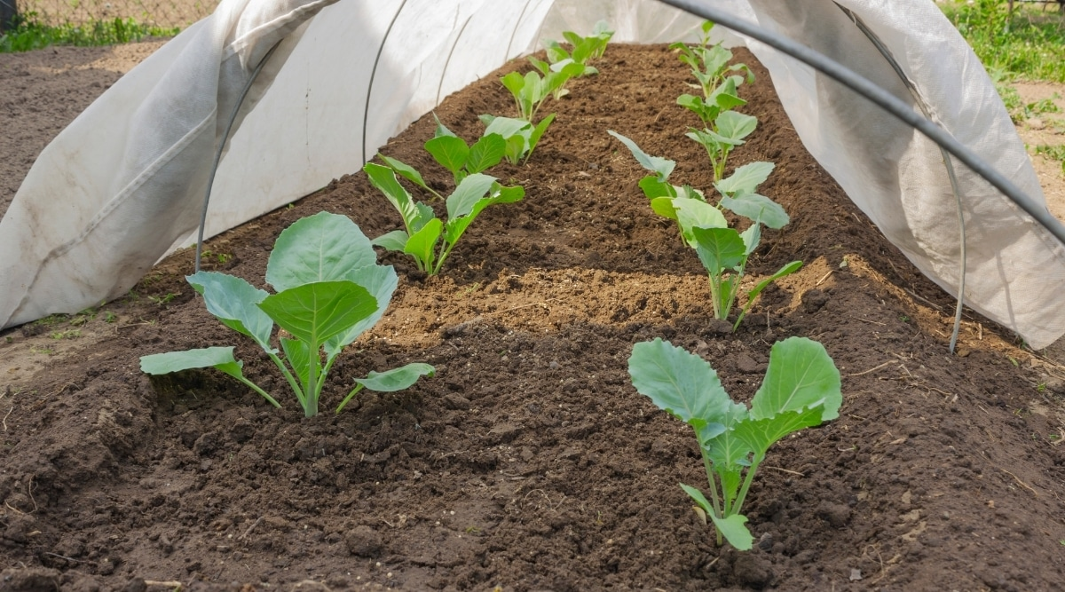 Baby Cabbage Plants With Row Cover