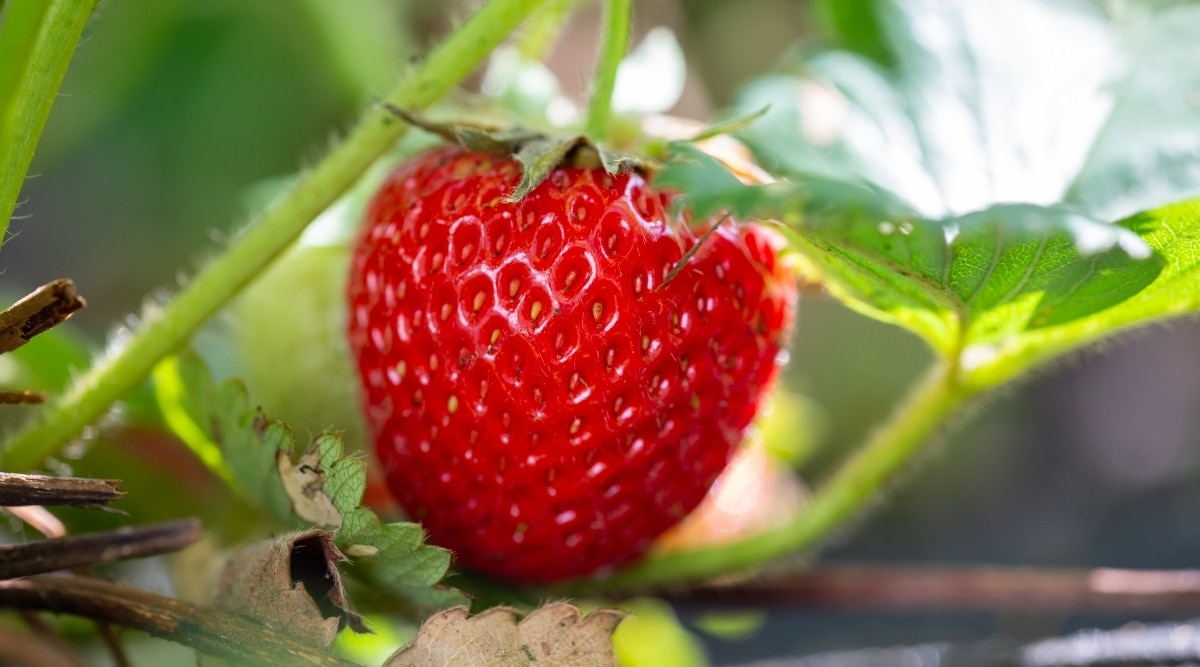 Bright Red Fruit