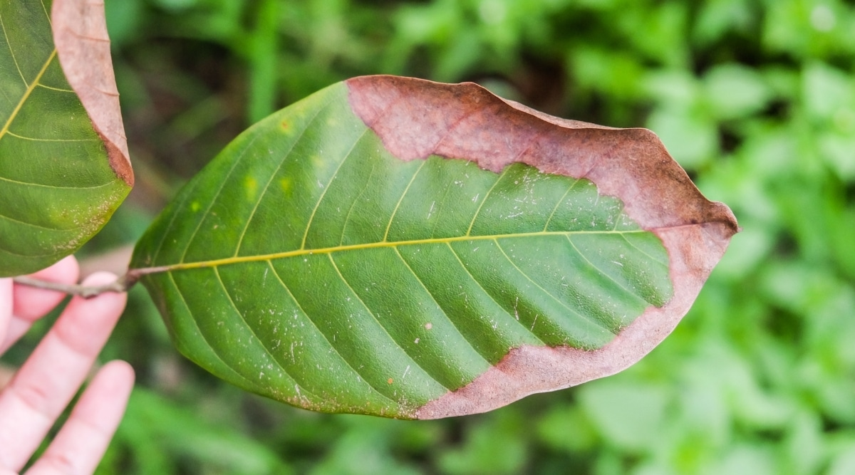 Browning Leaf With Potassium Deficiency