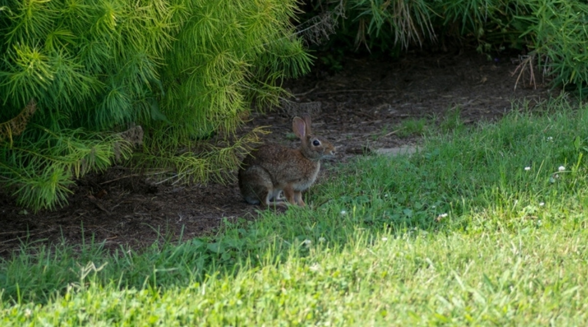 Bunny Hiding Under a Bush