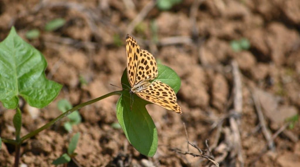 Butterfly on Vegetable in Garden