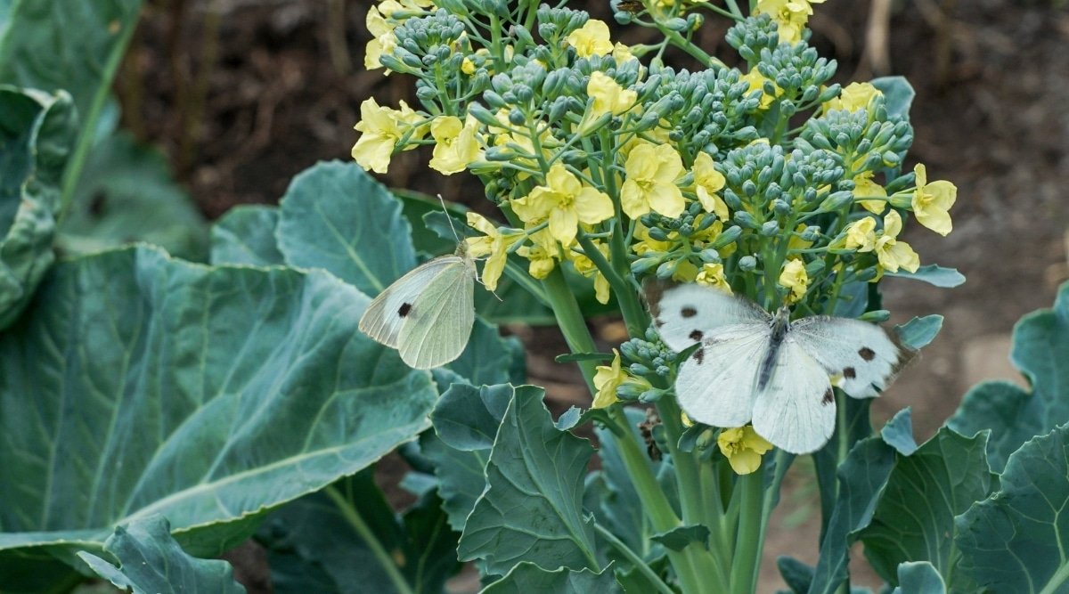 Cabbage White Butterflies on a Cabbage Plant