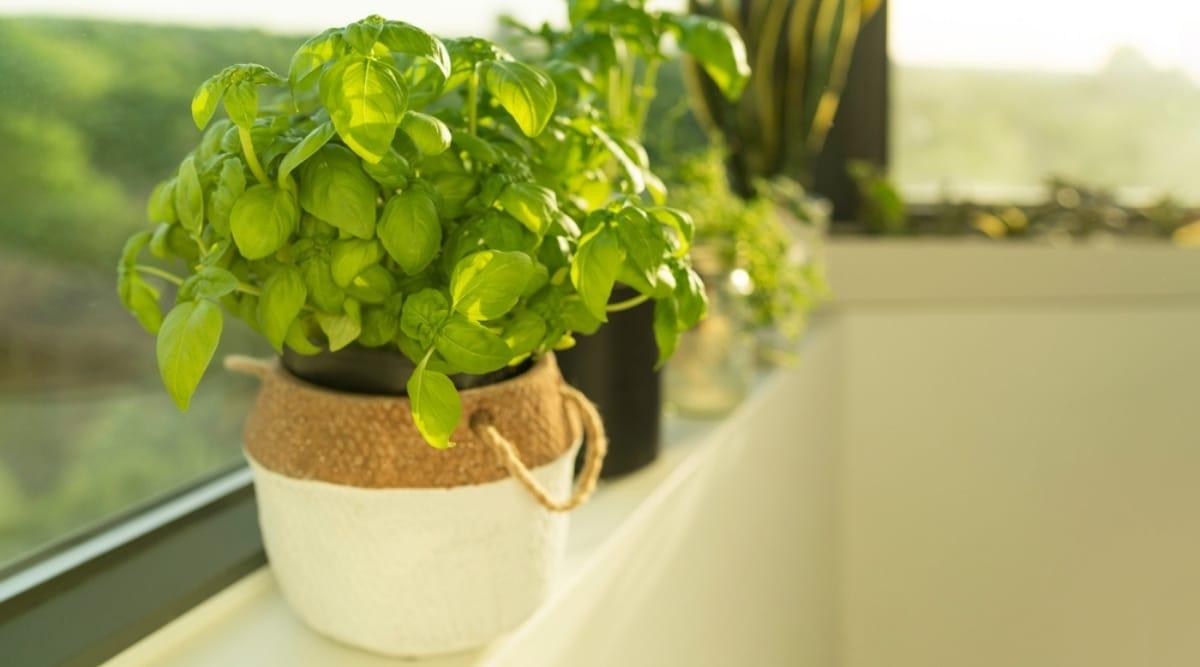Can Basil Grow in Shade