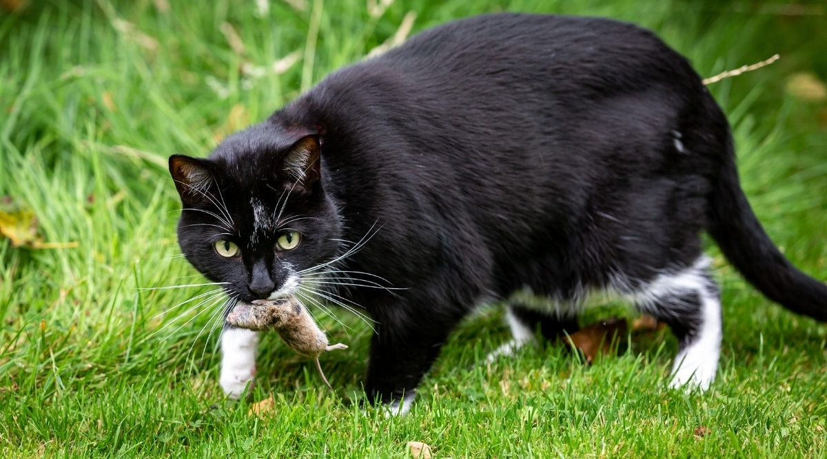 Cat with a Mouse in Its Mouth
