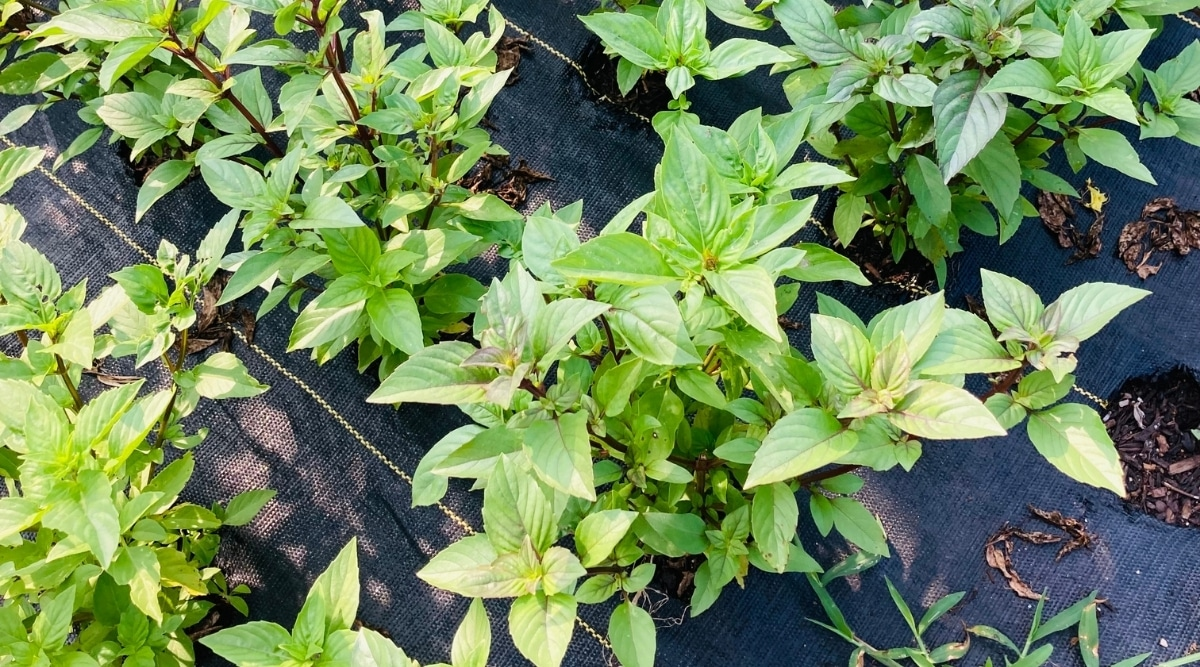 Cinnamon Basil Growing in a Garden
