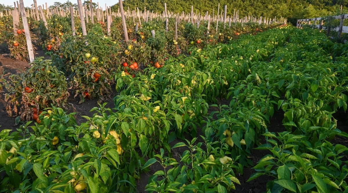 Companion Planting Benefits Tomatoes and Peppers
