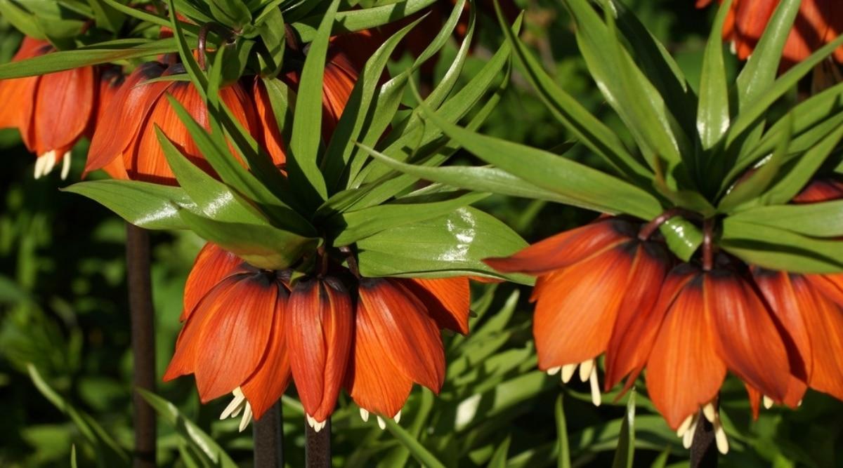 Crown Imperial Plants in Bloom