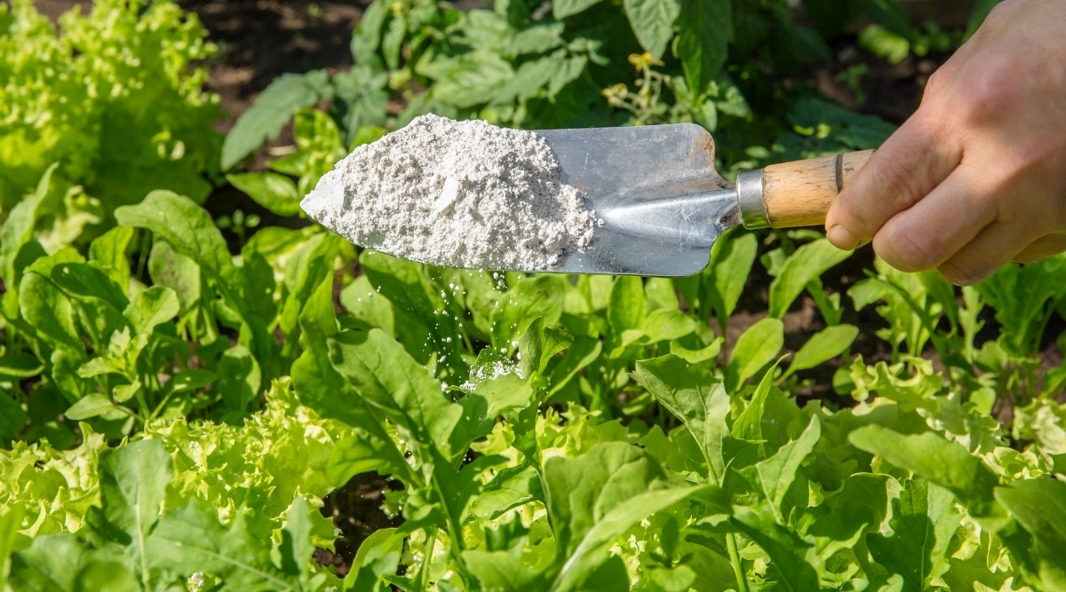 Diatomaceous Earth Being Sprinkled Around a Garden