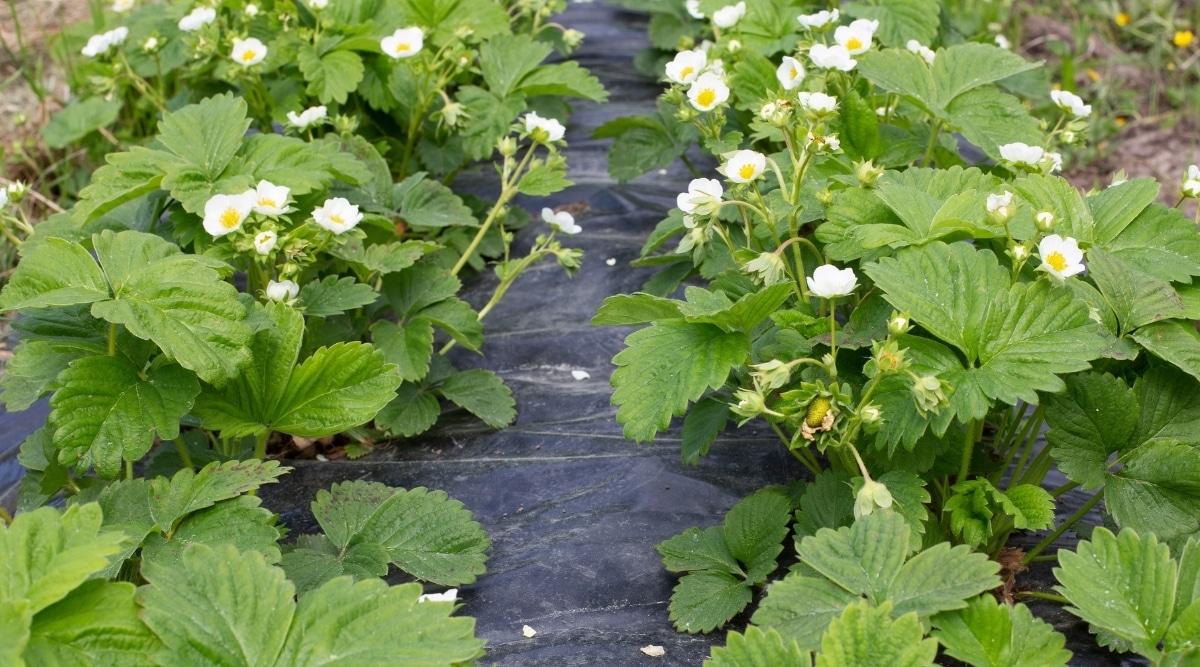 Fruit Plants in Rows
