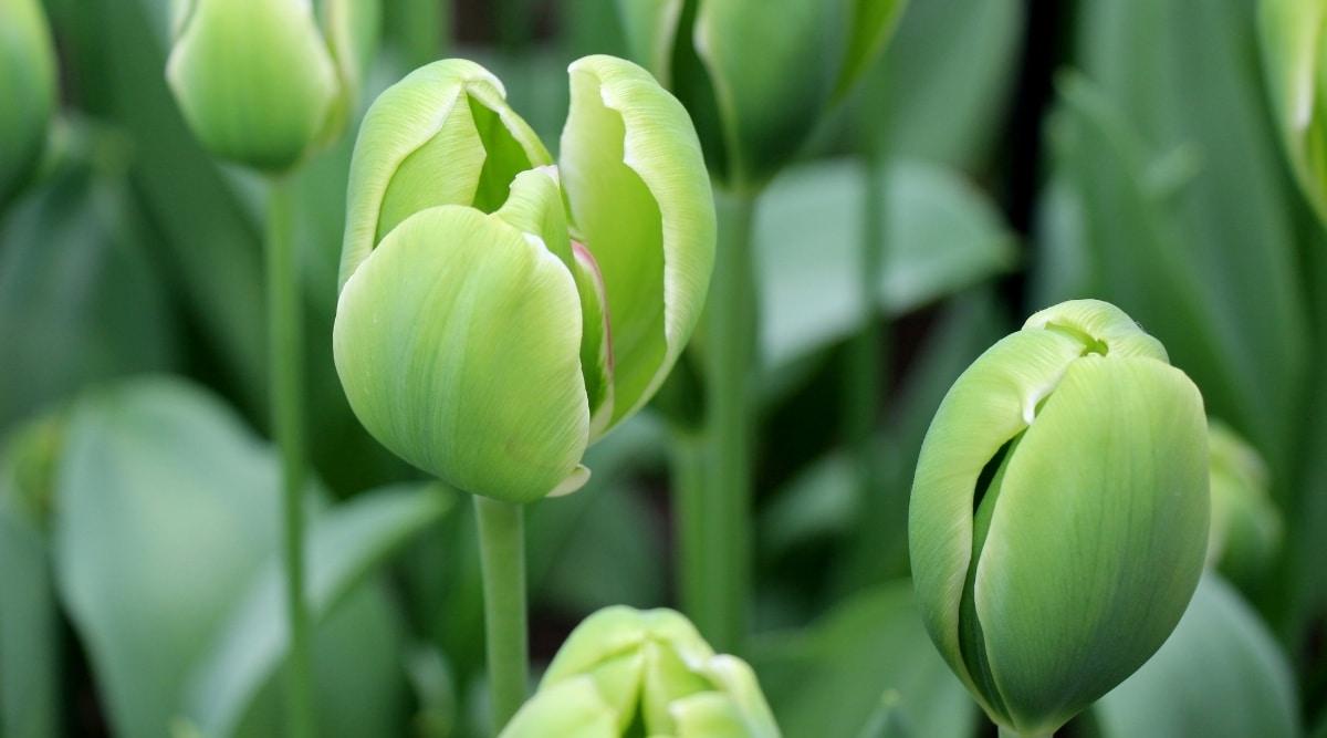 Green Flower Tulips