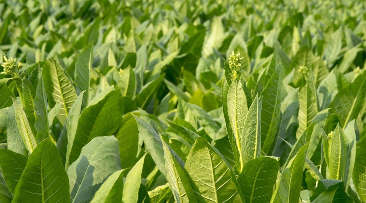 Green Flowering Tobacco