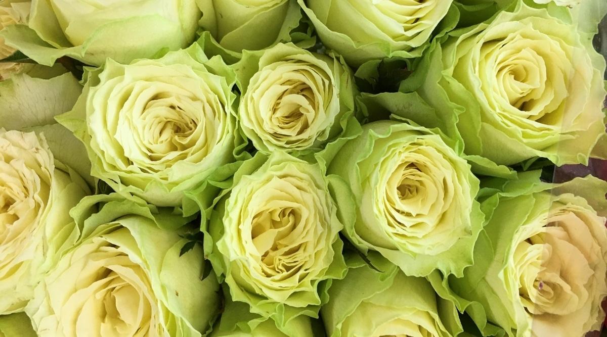 Green Roses