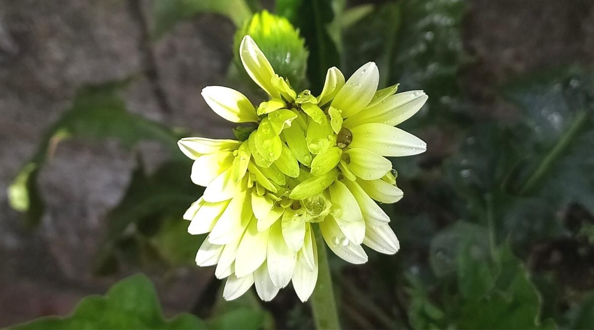 Green Zinnia