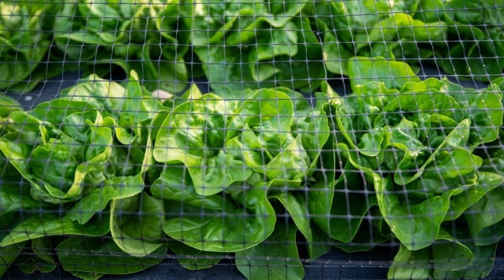 Lettuce With Netting Protecting It