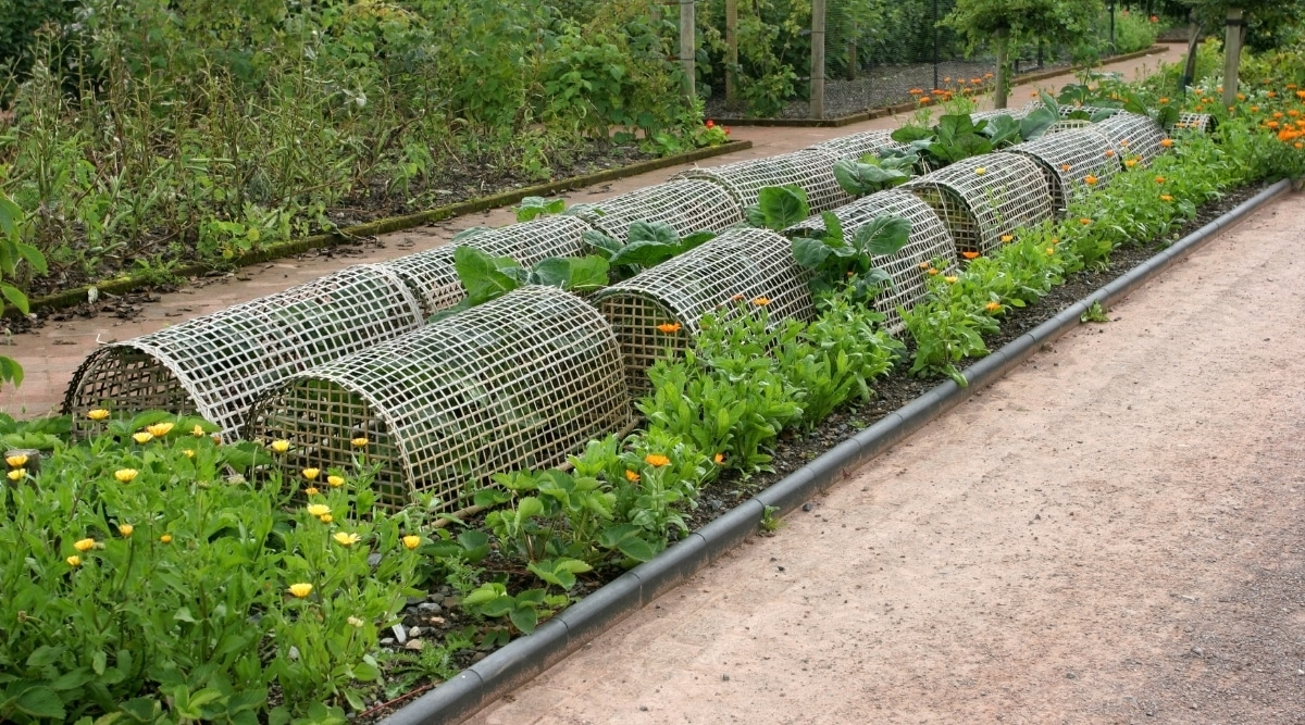 Marigolds Planted to Repel Pests