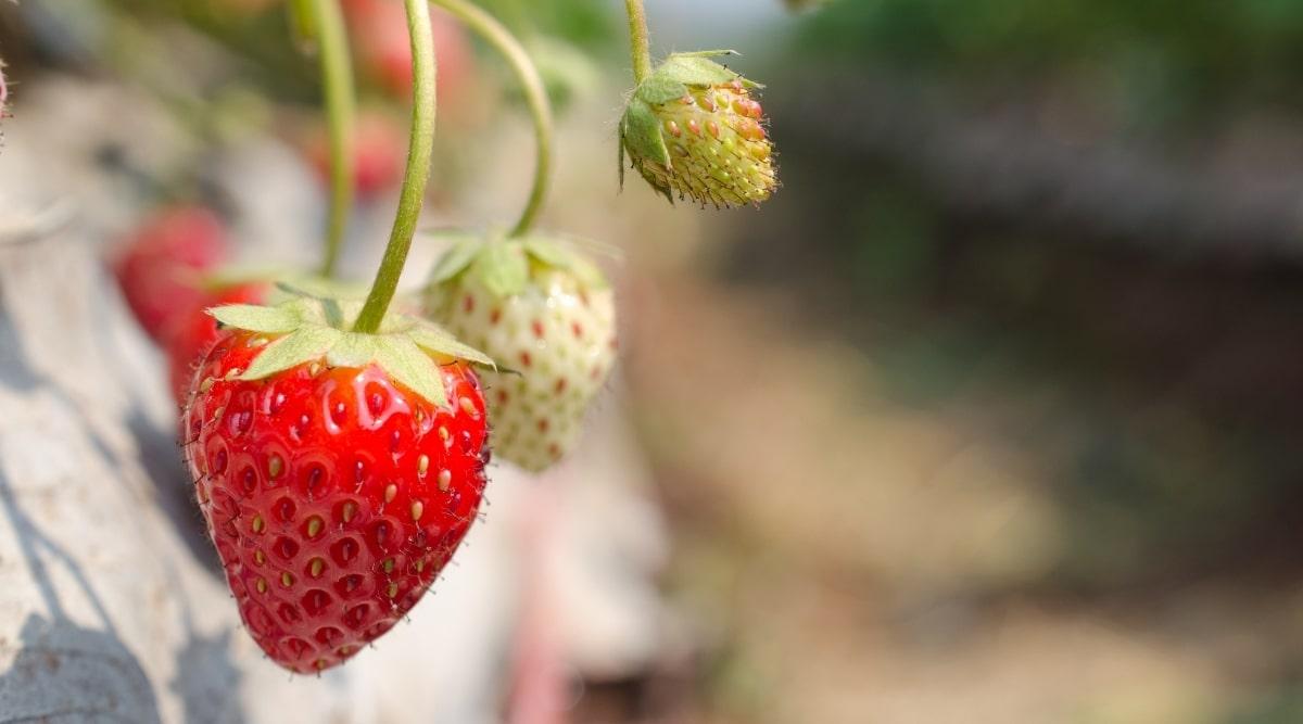 Maturing Red Fruit