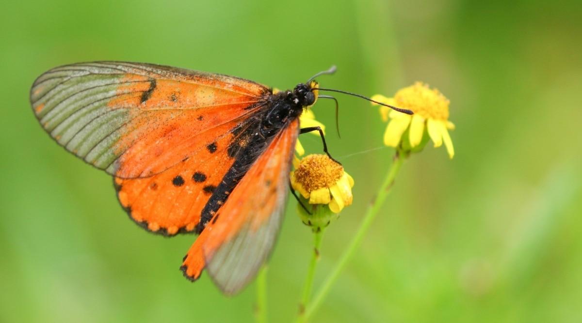 Orange Butterfly on a Yellow Flower