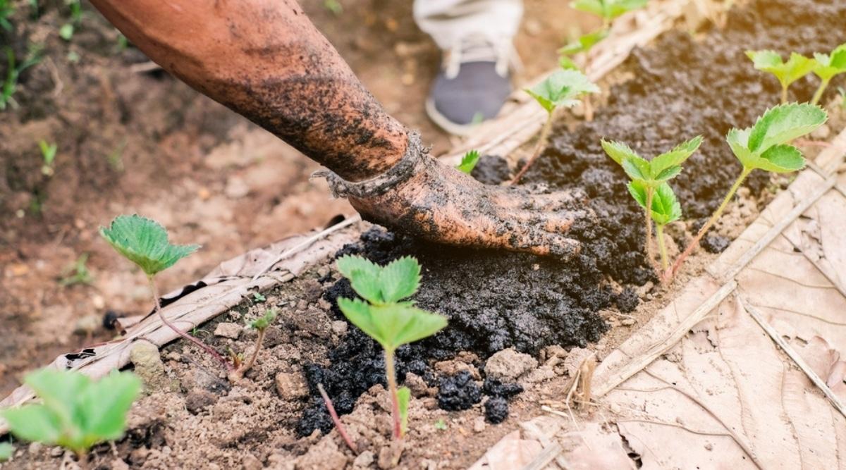 Person Spreading Compost Fertilizer Over Soil