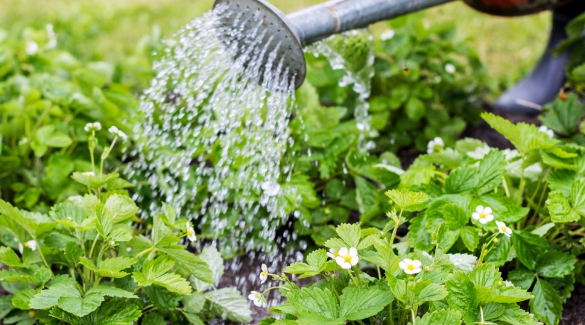 Person Watering Plants in a Garden
