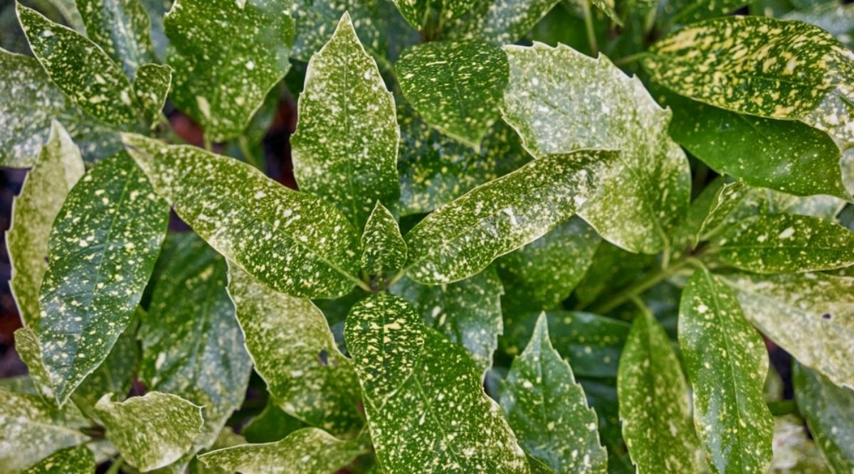 Plant Treated With Epsom Salt