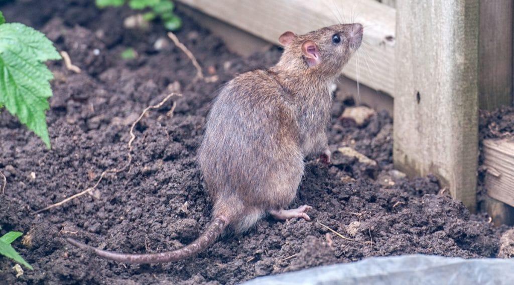 Rodents in Garden
