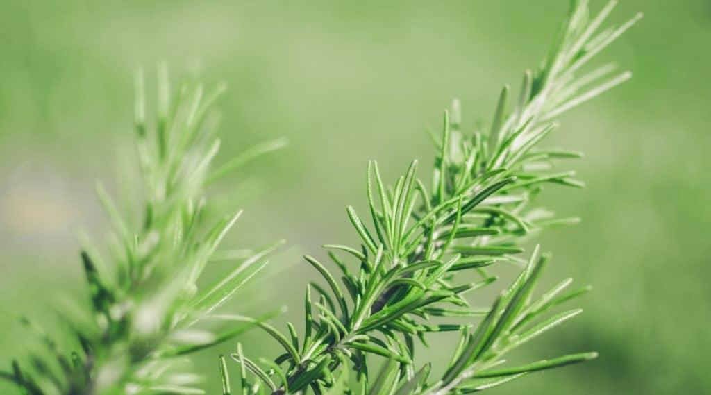 Rosemary Grow in Shade