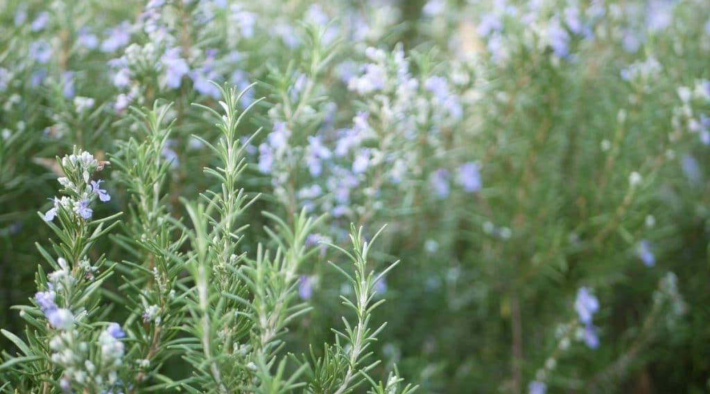 Rosemary in a Garden