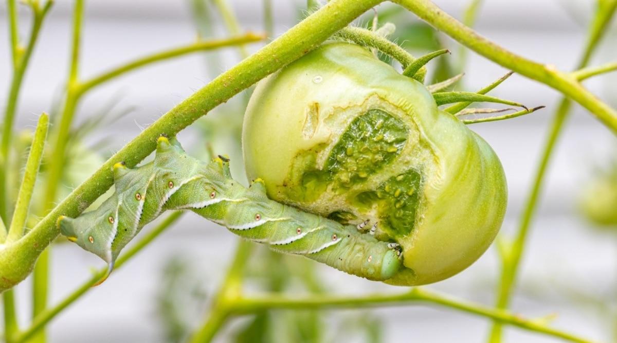 Tomato Hornworm Eating