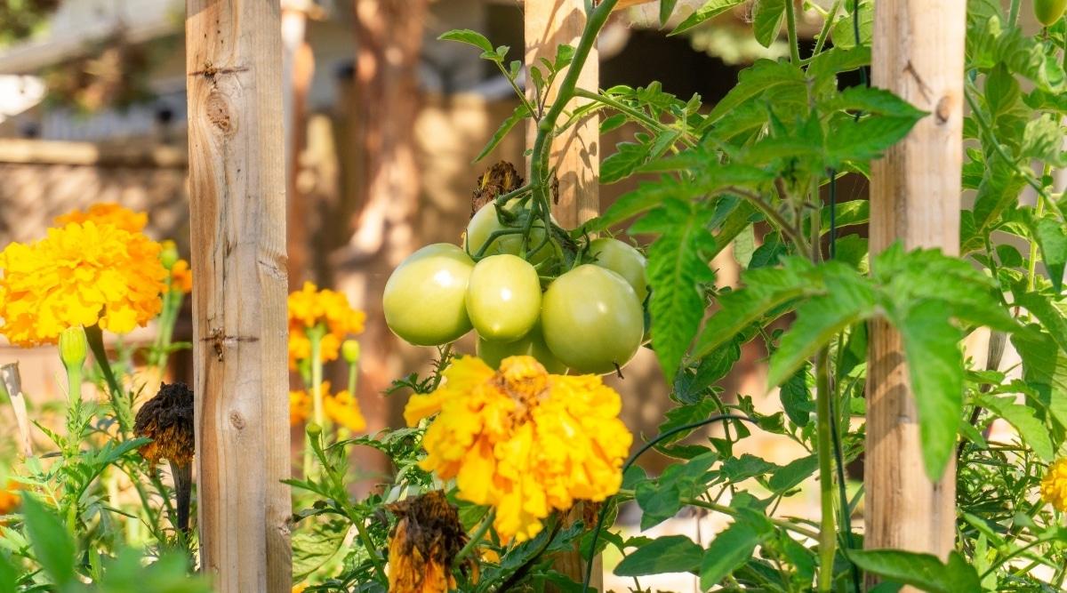 Tomato and Marigold Companion Planting to Share Benefits