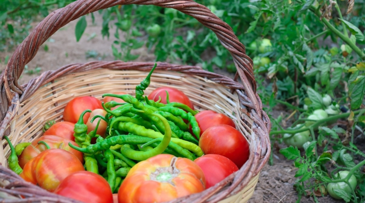 Tomatoes and Peppers Companion Planting