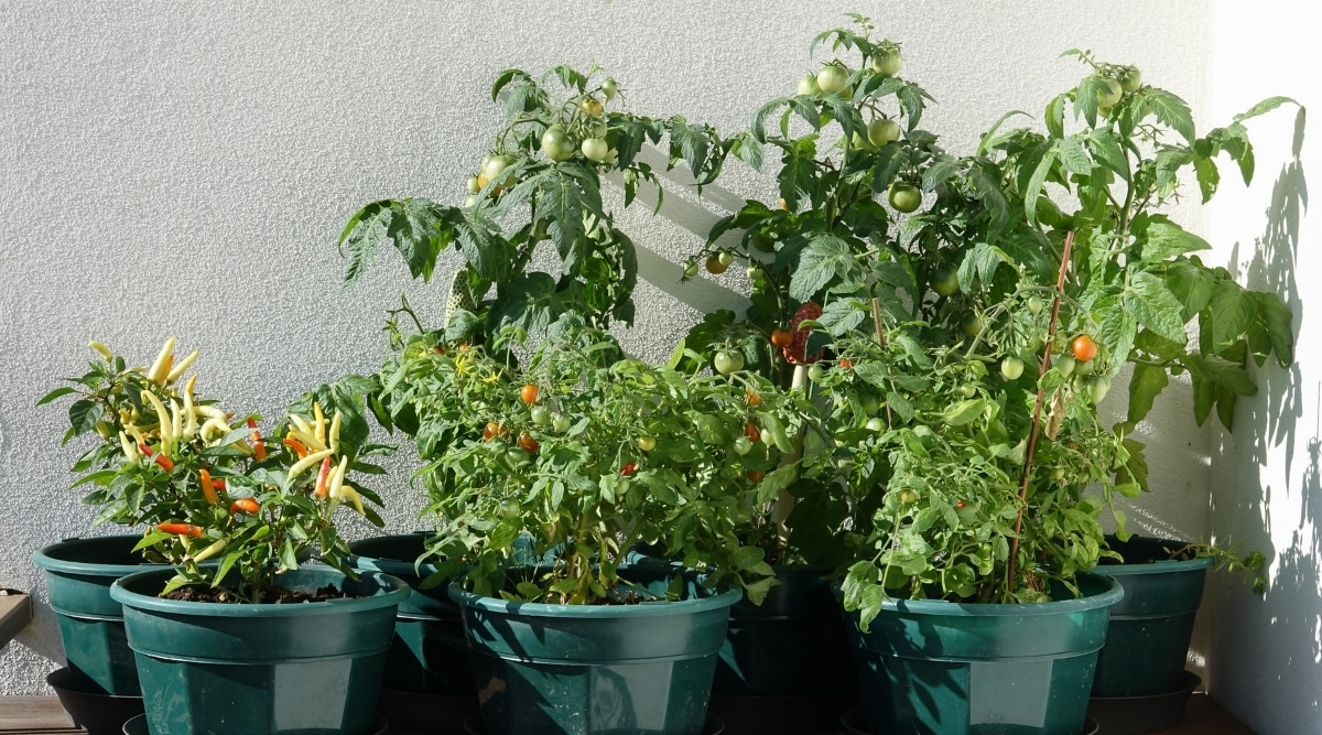 Tomatoes and Peppers Have Similar Crop Needs