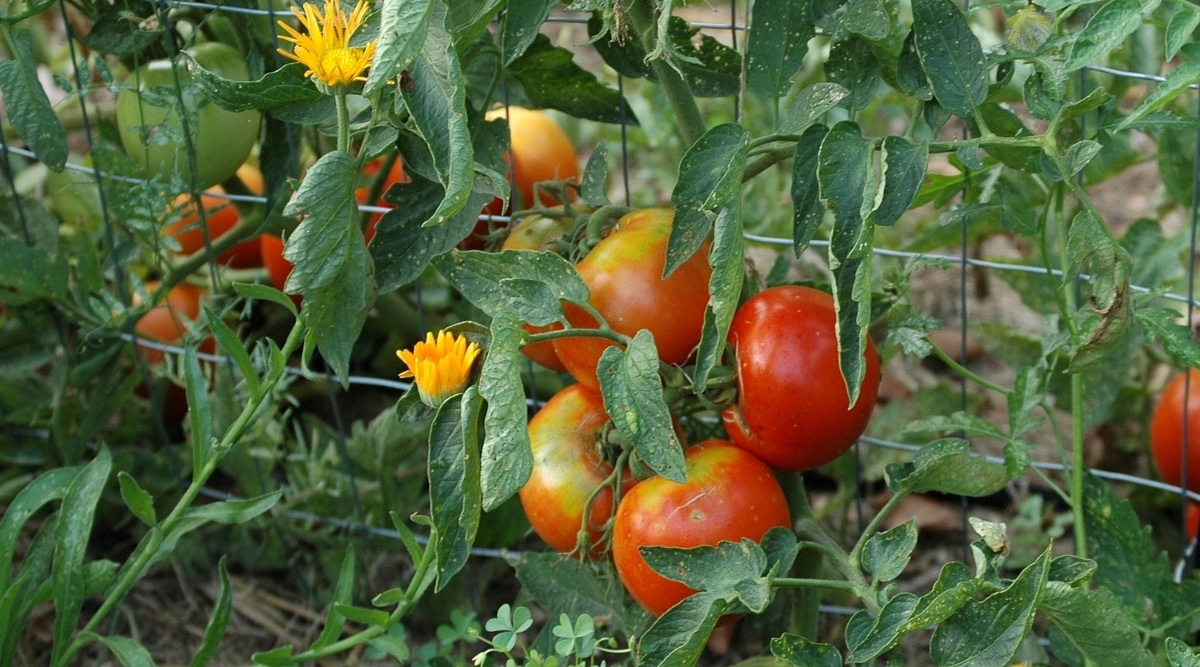 Tomatoes on a Trellis