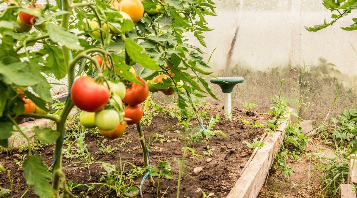 Ultrasonic Repellent Device in a Tomato Garden