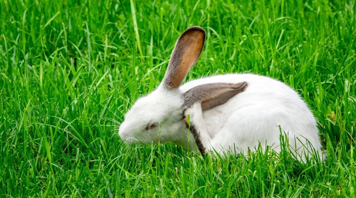 White Bunny Scratching Its Ear