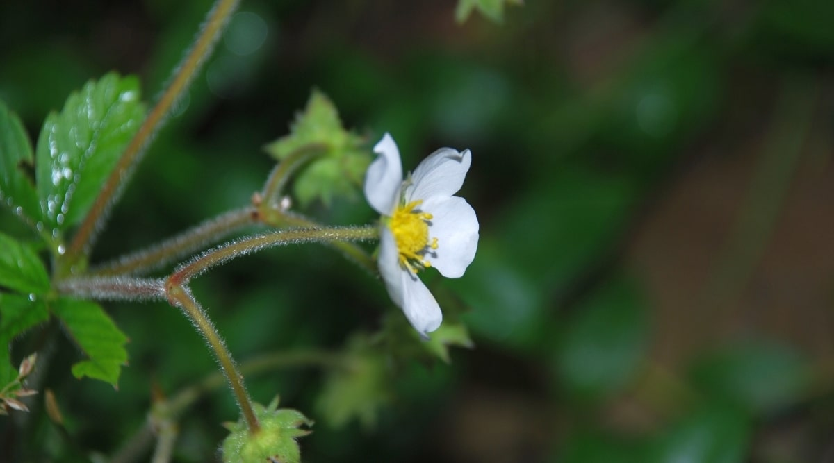 White Flower With Yellow Center