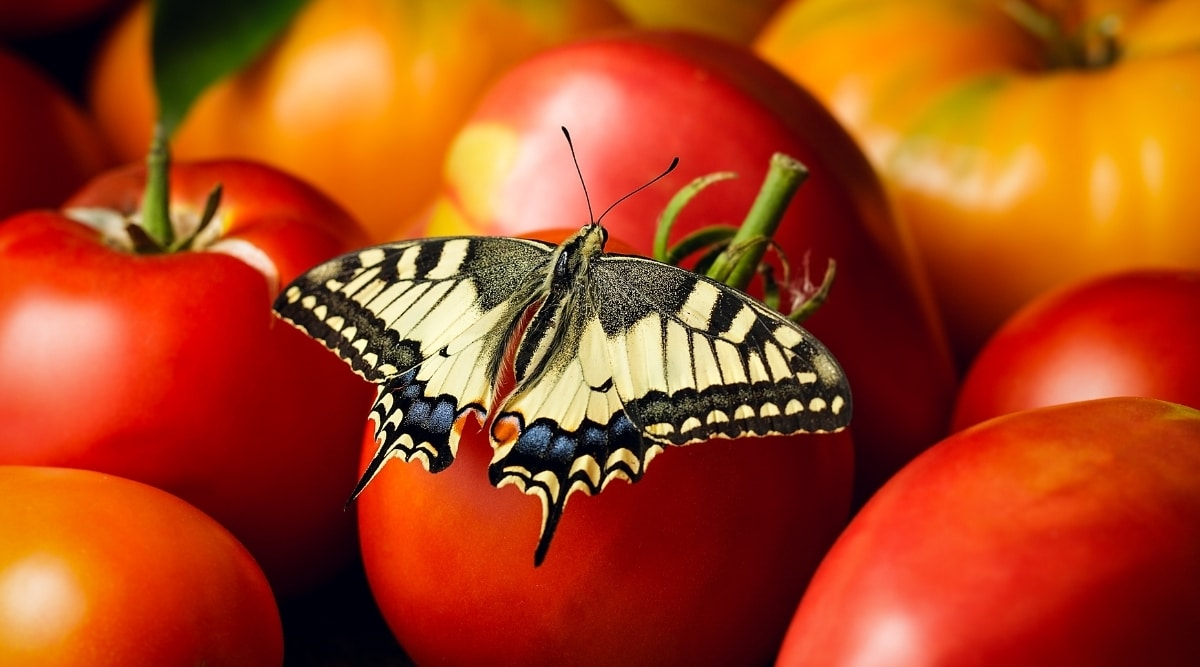 Yellow Butterfly on a Tomato